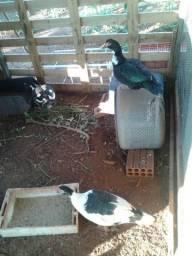 2 patas femeas botando e 1 pato macho