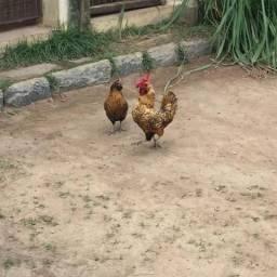 Vendo casal de galinha garnizé