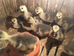Lindos filhotes de gansos sinaleiros aficanos puros