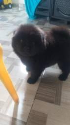 Lindo filhote de Chow chow com 2 meses.