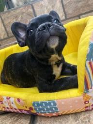 Lindos Filhotinhos de Bulldogue com pedigree