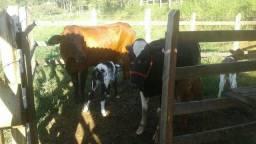 vendo vacas leitira  paridas