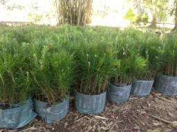 Pinus eucalipto