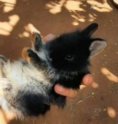 Mini coelhos netherland filhotes