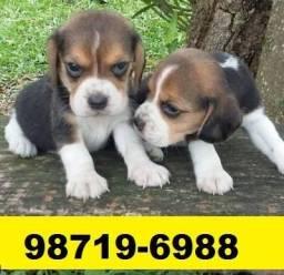 Canil Cães Filhotes Pet BH Beagle Lhasa Yorkshire Shihtzu Maltês Basset