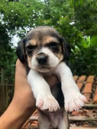 beagle macho pra reservar