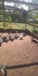Lote patos