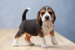 Beagle entregamos na sua residência e vc efetua o pagamento na entrega!!!