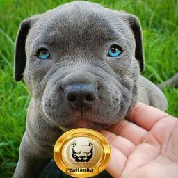American Bully Blue Nose Disponível Oportunidade Unica - Pitbull
