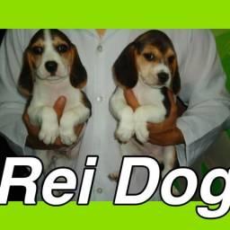 Lindos beagle em 13x Reidog