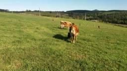 Vacas e novilhas jersey PO prenhas