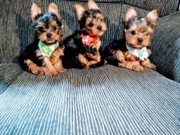Yorkshire Terrier, machos filhotes