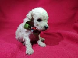 Poodle Filhotes com Vacina Importada e Kit