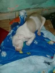 Filhote pitt bull 2 meses