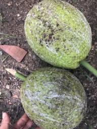 Fruta-pão / artocarpus