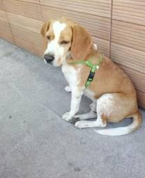 Beagle puro procura namorada