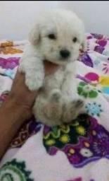 Poodle mini toy disponível