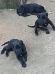 Vendo filhotes de Labrador(Mãe) com Rottweiler cabeça de Touro(Pai)