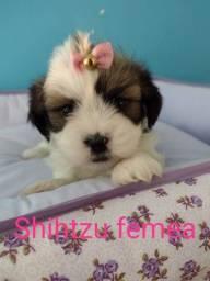 Amor de Shihtzu, uma alegria para a sua casa!