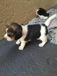 Beagle Filhotes de beagle