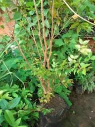 Plantas de jabuticaba
