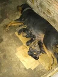 Filhote mestiço Rottweiler x Dog Alemão