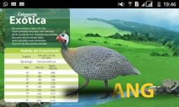 Angola gigante, francesa, pintinhos de 1 dia