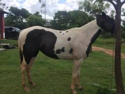 Vendo égua paint horse