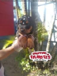 Rottweiler com assistência veterinária gratuita 24hrs