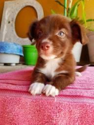 Filhote de poodle com boder collie((( fêmea)))