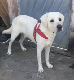 Labrador macho pra vende logo