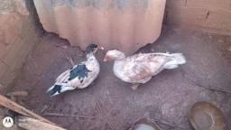 Patos casal