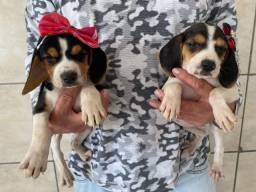 Fêmea e macho levamos até você beagle raça pura