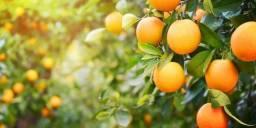 Busco propriedades rurais para arrendamento para laranja
