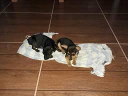 Cachorro pequenos