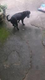 Duando cachorra labrador