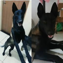 Vendo cachorros com pedigree