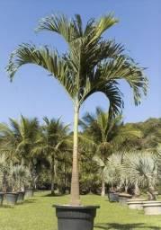 Palmeira Veitchia - Pronta entrega RJ