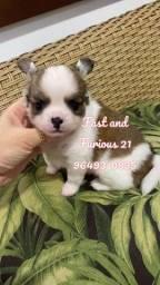 Chihuahua. Vacinados e com pedigree.!!