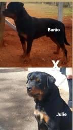 Título do anúncio: Filhote de Rottweiler