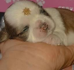 Linda fêmea de shih tzu disponível para RESERVA. Com pedigree CBKC