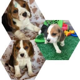 Beagle 13 polegadas com pedigree e microchip até 18x (somente macho disponíveis)