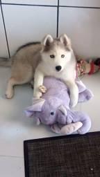 Husky siberiano disponíveis para reserva