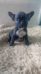 Bulldog francês a venda