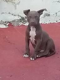 Pitbull APBT macho com 3 meses