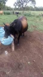 Vacas de leite