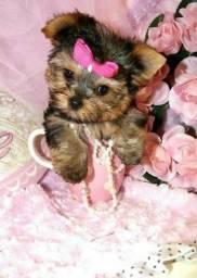 Beldades de Yorkshire Terrier Priscila Yorks