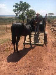 Aluga reboque trailer para cavalo gado e faz frete