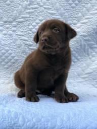 Labrador com pedigree e microchip em até 18x no