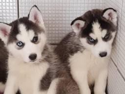 Lindos machinhos de Husky Siberiano